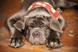 Canine Flu