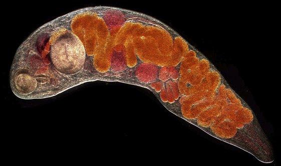 Diphyllobothrium Infection