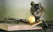 Diseases from Rodents