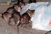 Rat-bite Fever
