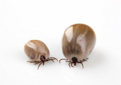 Southern Tick-Associated Rash Illness