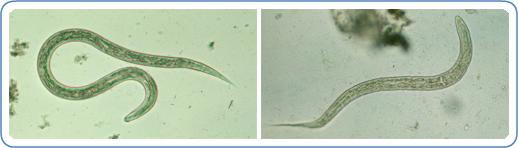 Zoonotic Hookworm